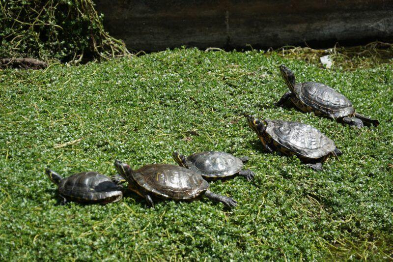 Turtles at Jungle park in tenerife