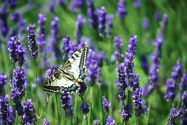flying butterfly in lavender field