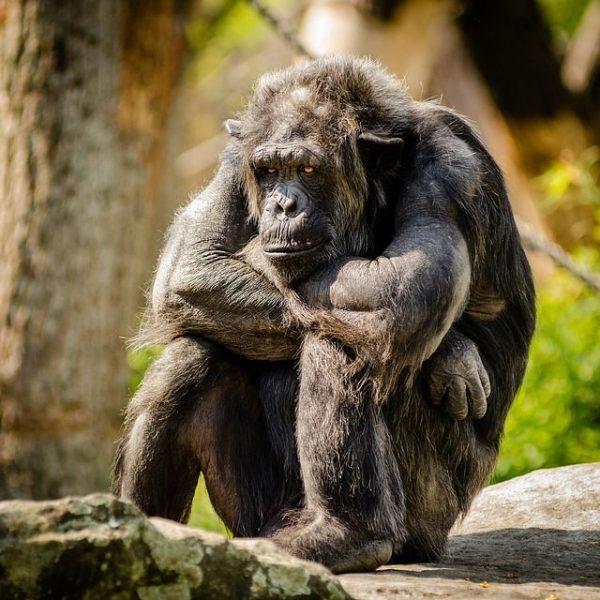 chimpanzee shoot