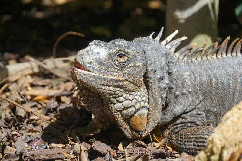 Lizard at Jungle park in tenerife