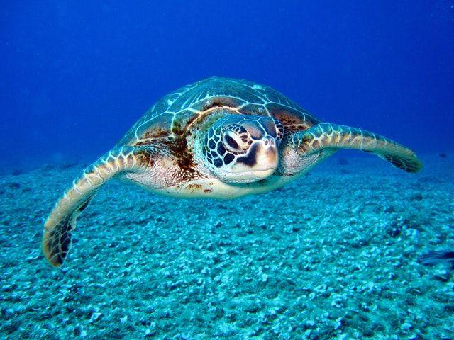 sea turtle underwater photo