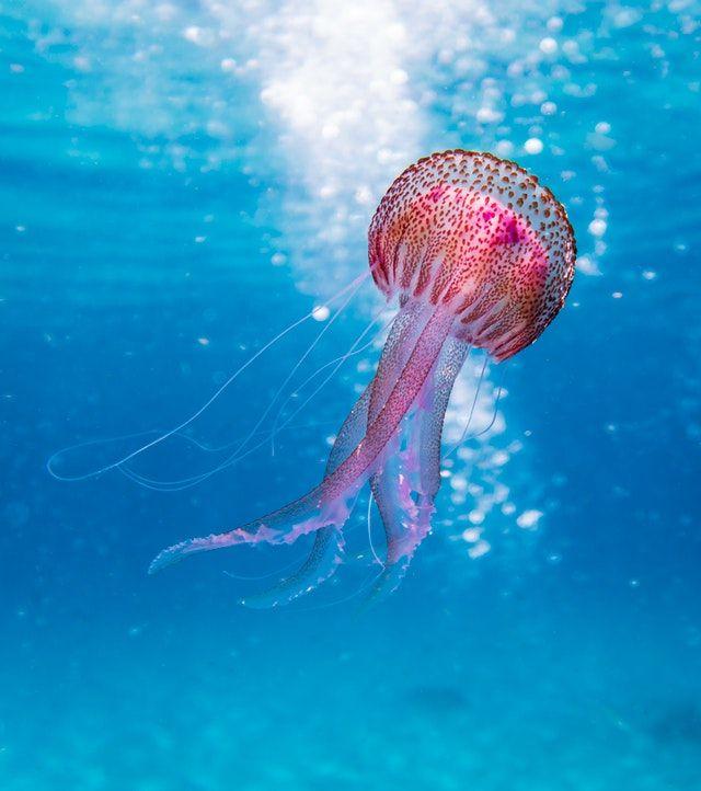 jellyfish photo underwater