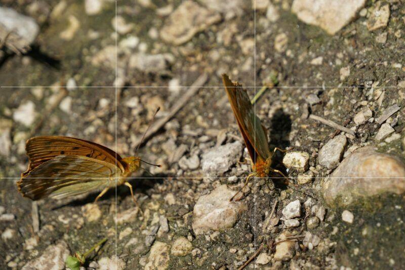 Rule of thirds butterflies
