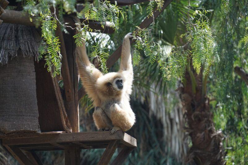 Monkey at Jungle park in tenerife