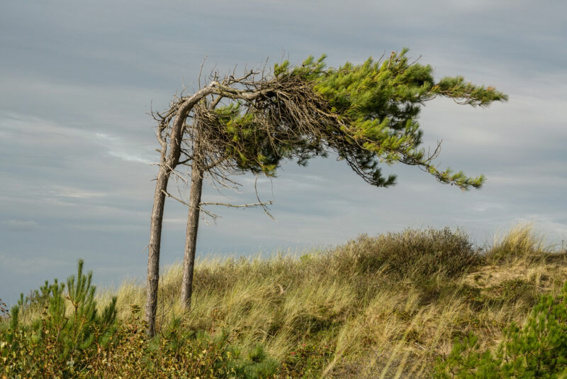 Sere tree at Formby in UK