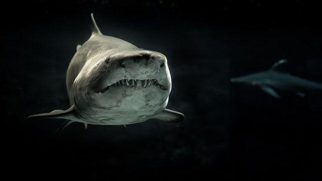 gray shark underwater photo