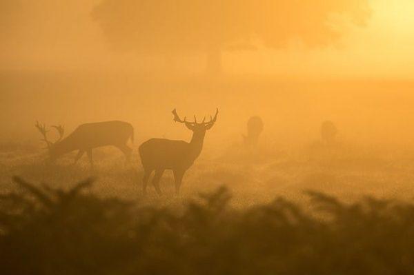 deer pack in fog
