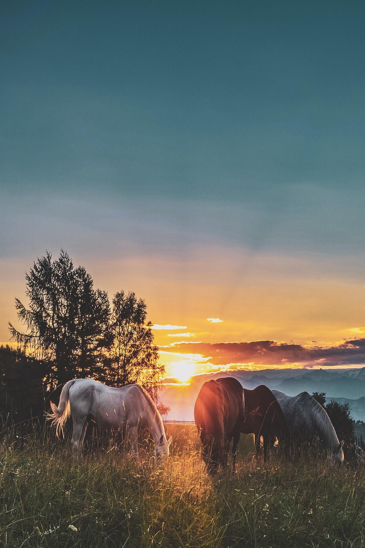 Horses on a field at the golden hour