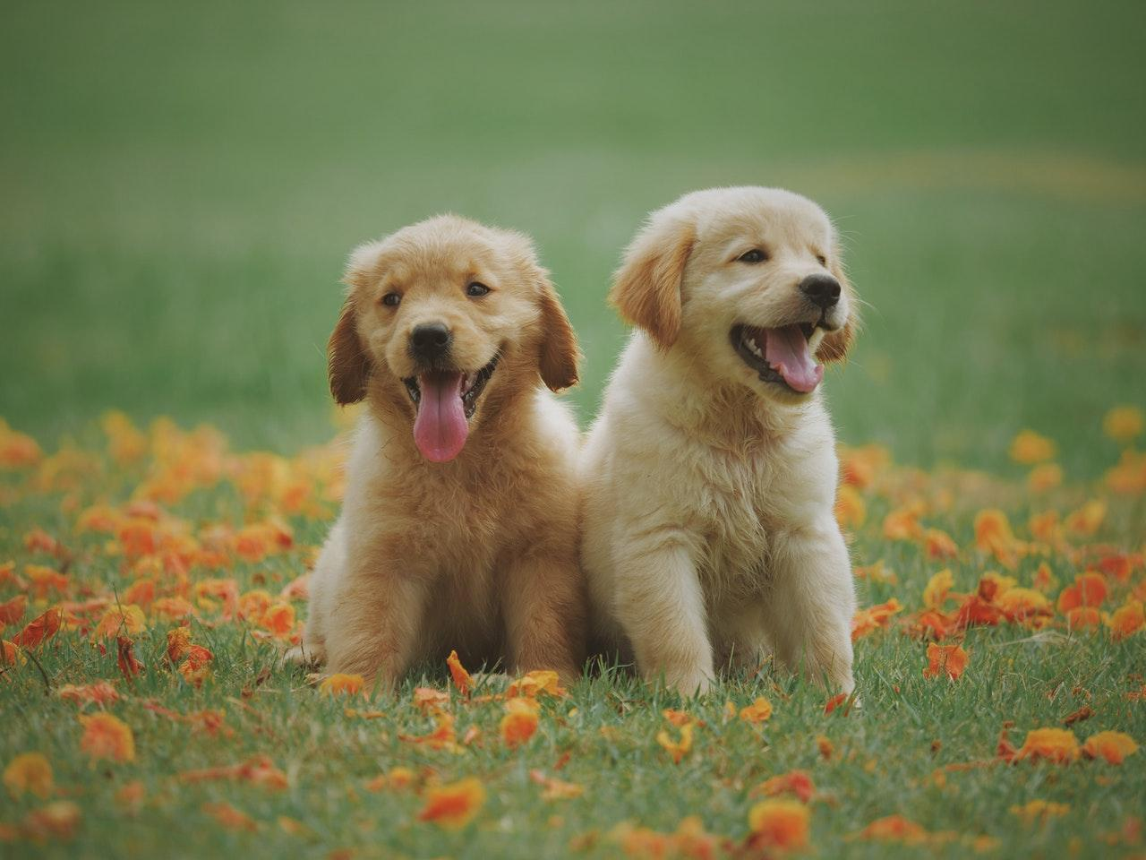 Two puppies on the field
